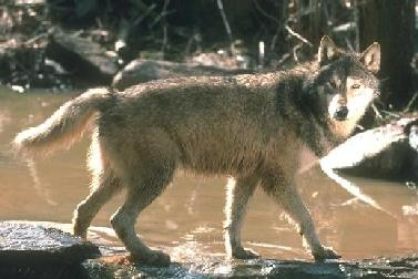 Wolves Bibliography-B - Wolves: Wolf History, Conservation